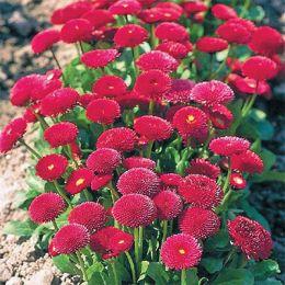 Стокротка Бал Роз, червона фото
