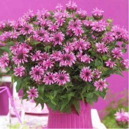 Монарда Cranberry Lace фото