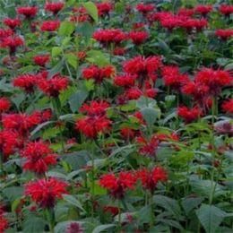 Монарда Монарда Red Shades фото