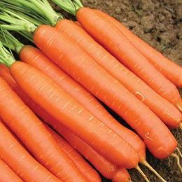 Морква Карлена  фото