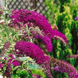 Буддлея Nanho Purple фото