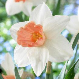 Нарцис Accent фото