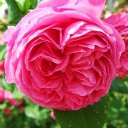 Троянда Pink Musimara фото