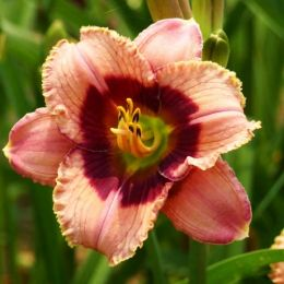 Лілейник Orchid Candy фото