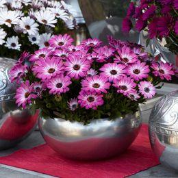 Остеоспермум Рожевий фото