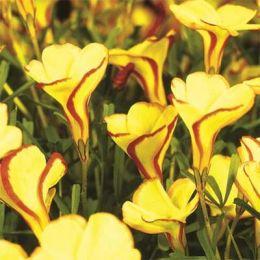 Оксаліс (кислиця) Versicolor Golden Cape фото