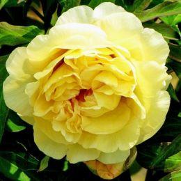 Півонія ITOH Yellow Waterlily фото