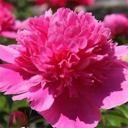 Півонія Bouquet Perfect фото