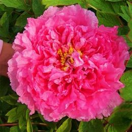 Півонія Pink Water-lily Rou Fu Rong деревовидна фото