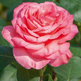 Троянда Panthere Rose фото