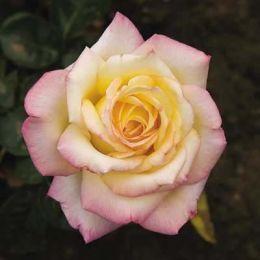 Троянда Peace (Gloria Dei) фото