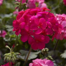 Пеларгонія Antik scarlet фото