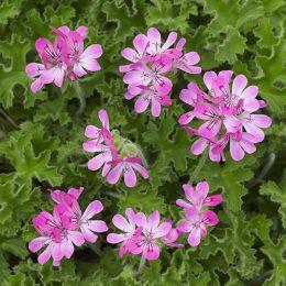 Пеларгонія P. Capitatum (roze) фото