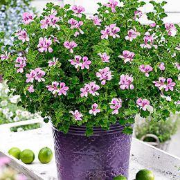 Пеларгонія Lemona (l-roze) фото