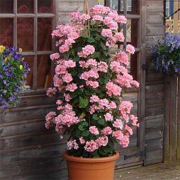 Пеларгонія Antik roze фото