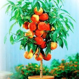Персик колоновидний Тотем Садовода фото