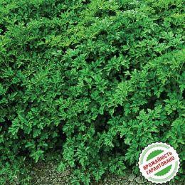 Петрушка Ріалто листова фото