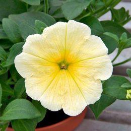 Петунія Yellow фото
