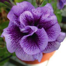 Петунія Viva Double Purple Vein фото