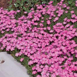 Флокс карликовый Perfect Pink фото