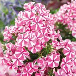 Флокс Pink Windmill фото