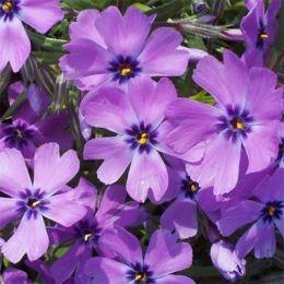 Флокс Purple Beauty фото