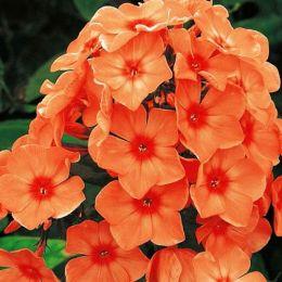 Флокс Orange Perfection фото