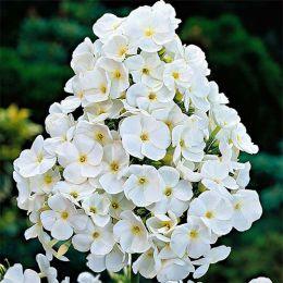 Флокс Paniculata White Admiral фото