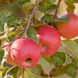 Яблуня Пінк Леді фото