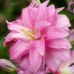 Лілія Lotus Breeze фото