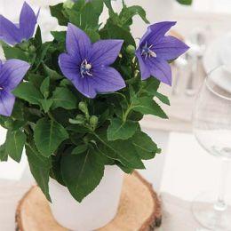 Платикодон Astra Blue фото