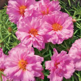 Портулак Грандіфлора, рожевий фото