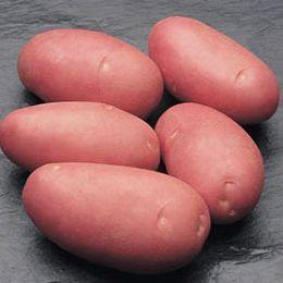 Картопля Rodeo фото