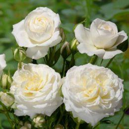 Троянда Ledreborg фото