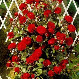 Троянда Naheglut фото