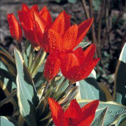 Тюльпан Praestans Unicum фото