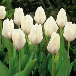 Тюльпан White Emperor (Purissima) фото