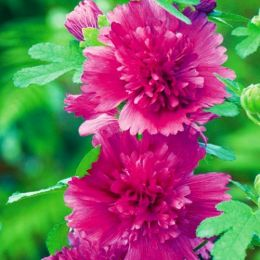 Мальва Purple фото