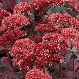 Седум Raspberry Truffle фото
