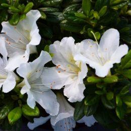 Азалія BloomChampion White фото