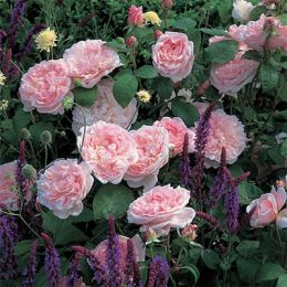 Троянда Eglantyne фото