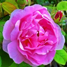 Троянда Boogie Woogie фото