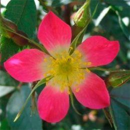 Троянда червонолиста фото