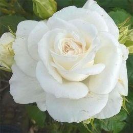 Троянда Annapurna фото