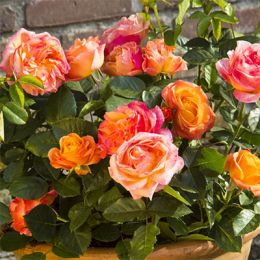Троянда Antigua фото