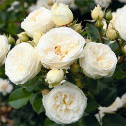Троянда Artemis фото