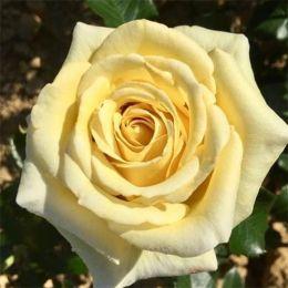 Троянда Aubada фото