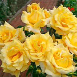 Троянда Berolina фото