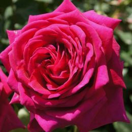 Троянда Big Purple фото