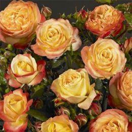 Троянда Bradford фото